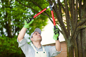 Professional gardener pruning a tree